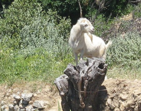 Polyrhinia goat